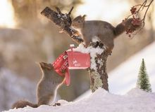 Squirrels posting a christmas santa letter. Red squirrels are posting a christmas santa letter Stock Images