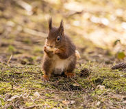 Squirrels Royalty Free Stock Photo
