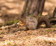 Squirrels Royalty Free Stock Photos