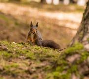 Squirrels Stock Image