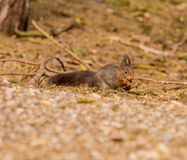 Squirrels Stock Photo
