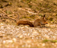 Squirrels Stock Photography