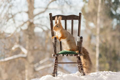 Squirrels seat. Close up of red squirrel standing on a chair in the snow Royalty Free Stock Images