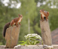Squirrels standing on rocks Royalty Free Stock Photo