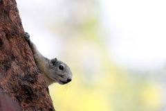The Squirrels on tree is Hide the Viewed face. Stock Photos