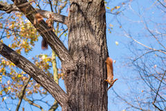 Squirrels on the tree Stock Images