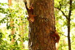 Squirrels. Young squirrels playing on pine tree royalty free stock photography