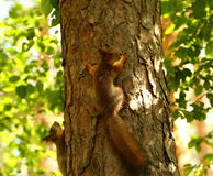 Squirrels. Young squirrels playing on a tree royalty free stock photos