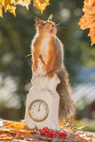 Squirrelsclock Foto de Stock
