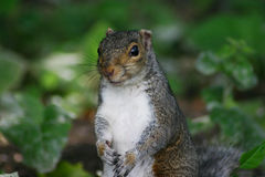 Squirrely Royalty Free Stock Photo