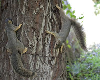 Squirrely lizenzfreies stockbild