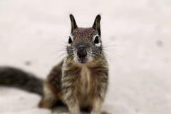 Squirrle Стоковые Изображения RF