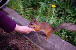 Squirrrel που ικετεύει για τα τρόφιμα Στοκ Φωτογραφίες