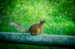 Squirrrel που ικετεύει για τα τρόφιμα Στοκ φωτογραφία με δικαίωμα ελεύθερης χρήσης