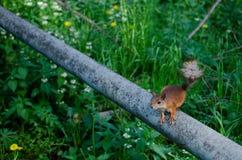 Squirrrel που ικετεύει για τα τρόφιμα Στοκ εικόνες με δικαίωμα ελεύθερης χρήσης