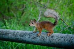 Squirrrel που ικετεύει για τα τρόφιμα Στοκ εικόνα με δικαίωμα ελεύθερης χρήσης
