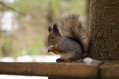 Squirrrel rosso sveglio che si siede su un alimentatore e che mangia i semi nell'inverno immagine stock