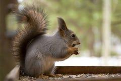 Squirrrel rosso sveglio che si siede su una depressione dell'alimentatore e sui semi d'alimentazione nell'inverno immagini stock