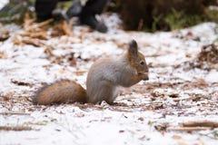 Squirrrel rosso sveglio che si siede su una neve e che mangia i semi nell'inverno immagini stock