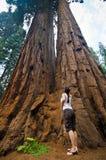 séquoia de stationnement national Images libres de droits
