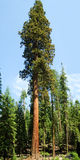 Séquoia Gigantica Photos stock