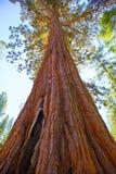Séquoias dans le verger de Mariposa au parc national de Yosemite Images stock