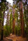 Séquoias en beau stationnement national de séquoia Image stock