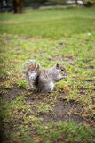 A squrrel eating. A squirrel eatin in the greenery at the middle of manhattan Stock Photography