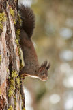 Squrrel on a larch. European squirrel hangs upside down on a larch Royalty Free Stock Photography