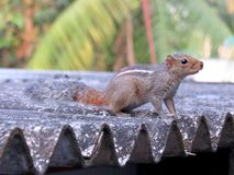 Squrrel Royalty Free Stock Photo