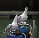 Sqwalking Seagulls. Two Seagulls at Weymouth Sqwalking Royalty Free Stock Photo