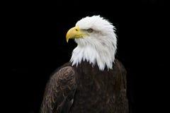Sr. águia calva II Imagem de Stock Royalty Free