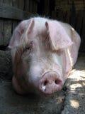 Sr. Piggy Fotografía de archivo