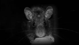 Sr. rato Fotografia de Stock