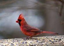 Sr. Vermelho Cardinal fotografia de stock