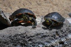 Sr. y señora Turtle Fotografía de archivo libre de regalías