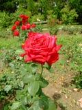 SRA. Delbard Rosa Imagens de Stock Royalty Free