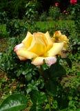 SRA. um Meilland Rosa Fotografia de Stock