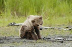 sratching熊棕色崽的耳朵 免版税库存照片