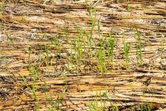 Sraw in het padieveld na eind van oogstseizoen in mornin Royalty-vrije Stock Foto