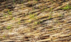 Sraw nel giacimento del riso dopo la conclusione della stagione del raccolto nel mornin Fotografia Stock
