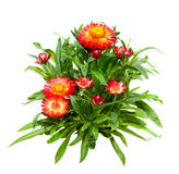 Srawflower or Helichrysum on white background. Stock Photo