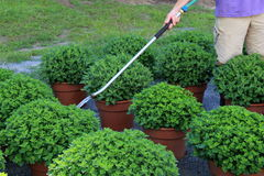 Sray hose watering healthy potted plants Stock Photo