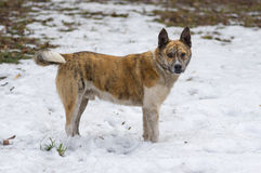 Sray tiger colored dog standing on a dirty snow in spring park. Portrait of stray tiger colored dog standing on a dirty snow in spring park Stock Images