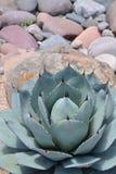 Srebna agawy roślina z skałami dla Xeriscaping Obrazy Stock