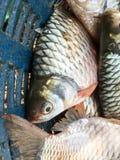 Srebna barbet ryba obrazy royalty free
