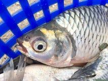Srebna barbet ryba zdjęcia stock