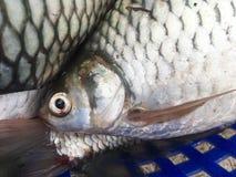 Srebna barbet ryba obraz stock