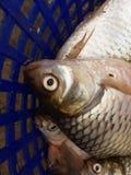 Srebna barbet ryba zdjęcie royalty free