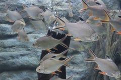 Srebna barbet ryba w akwarium fotografia stock